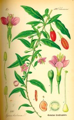 Illustration Lycium barbarum0150